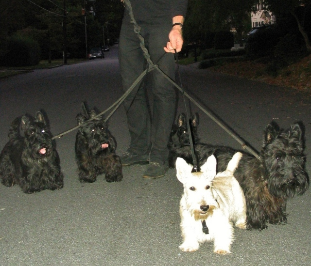 bunch o scotties