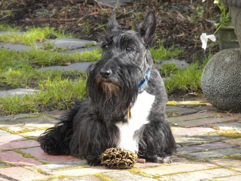 Scottish Terrier Month