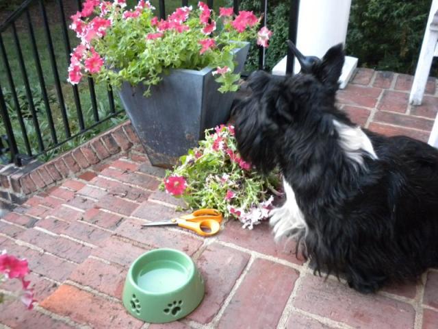 Pruning petunias