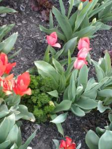 There's tulips growing in the parsley! (Bad grammar, I know.)