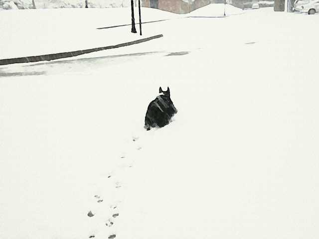 Snowy Scottie