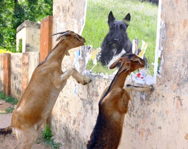 goats FFF