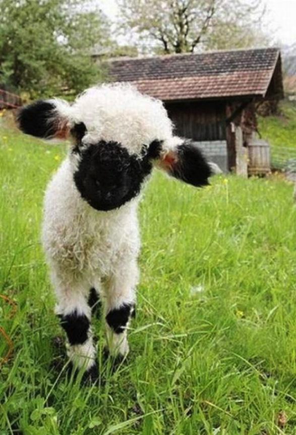 bw lamb