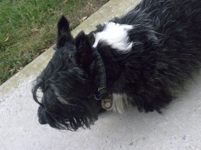 Scruffy Scottish Terrier, Stuart, shows his disheveled appearance. His classic profile has been deteriorating since the news of his Godmother Carol's move to Michigan.